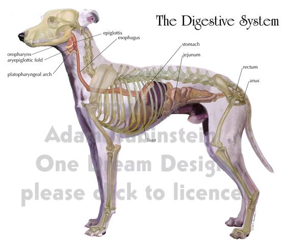 Aparato digestivo de un perro - Imagui
